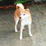 FP-E 小ぶりの柴犬成犬