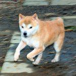 FP-J 豆柴成犬