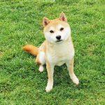 FP-R 豆柴成犬