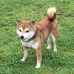 FP-W 極小豆柴成犬