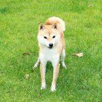FP-005. 極小豆柴成犬