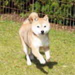 FP-008. 豆柴成犬