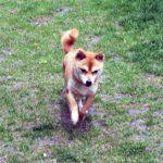 FP-022. 極小豆柴成犬