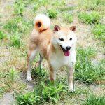 FP-033. 極小豆柴成犬