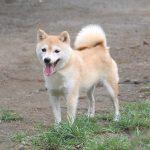 FP039 極小豆柴成犬