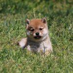 豆柴犬 の子犬