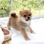 極小豆柴犬の赤ちゃん