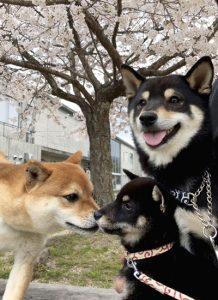 極小豆柴犬 ジローくんこころくん奈々ちゃんノリコちゃん