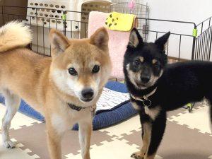 極小豆柴犬 赤:心助くん 黒:暖くん