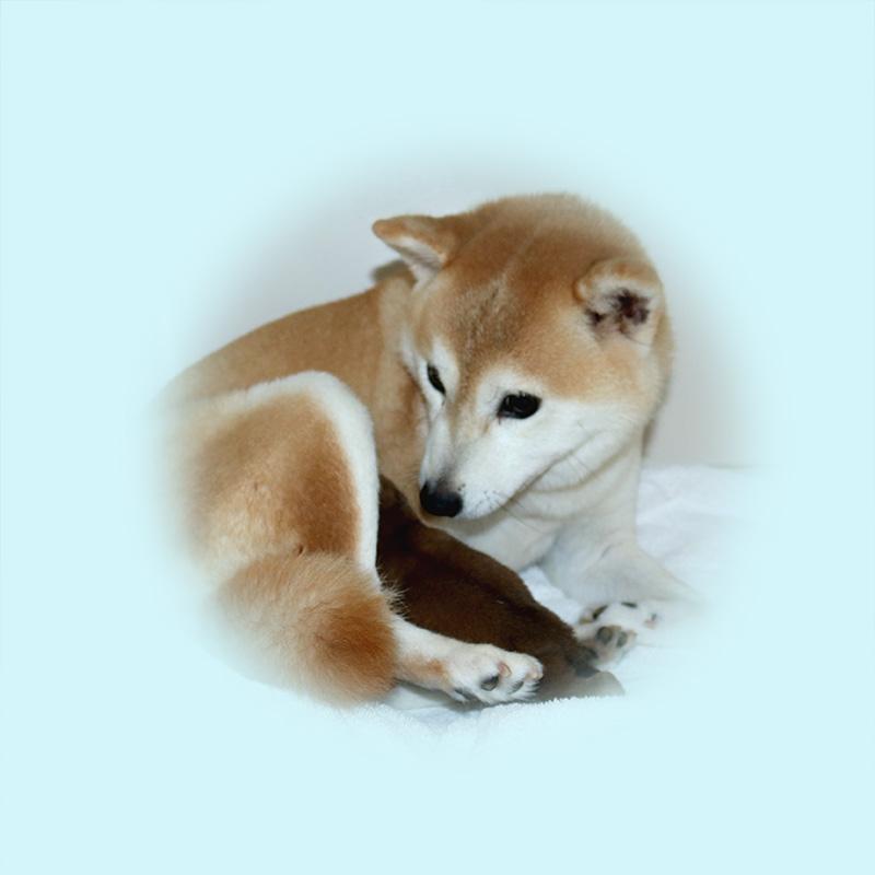 極小豆柴母犬 チナミちゃん