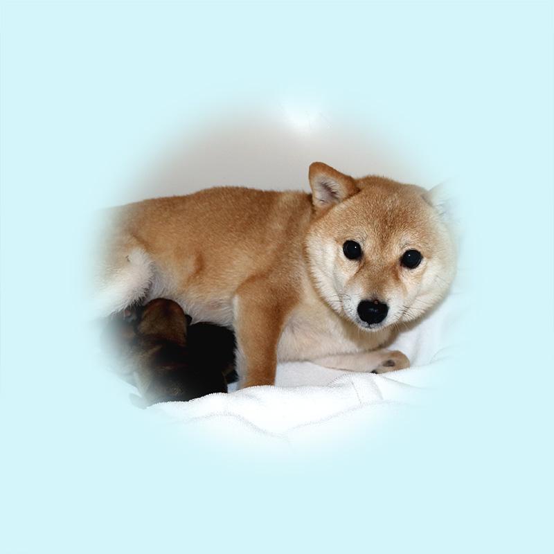 極小豆柴母犬 ミノリちゃん