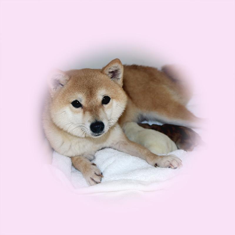 極小豆柴母犬 ウララちゃん