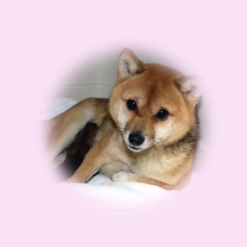 極小豆柴母犬 ベアちゃん
