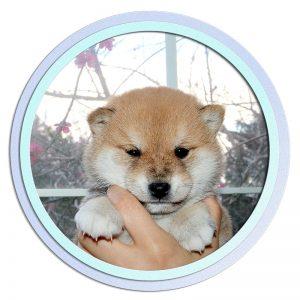 極小豆柴母犬 ヒマリちゃんの子