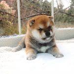極小豆柴母犬 オクラちゃんの子c