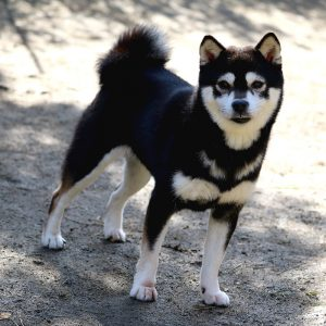 FP045 極小豆柴犬