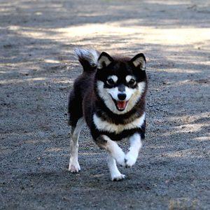 FP047 極小豆柴犬