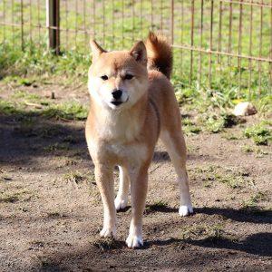 FP048 極小豆柴犬