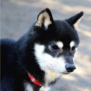 FP049 極小豆柴犬
