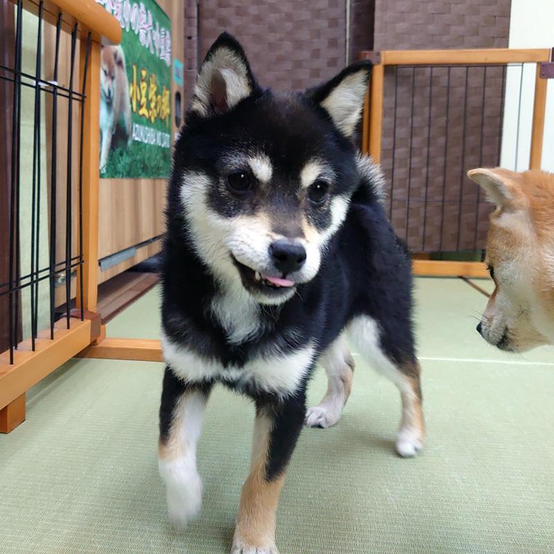 小豆柴の郷の犬