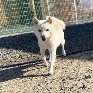 白 豆柴成犬 OK-002