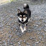 黒 極小豆柴成犬