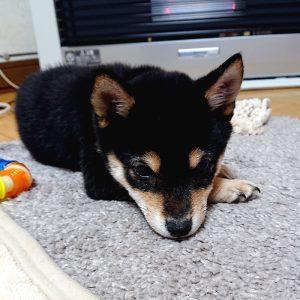 北海道の極小豆柴犬 凛ちゃん