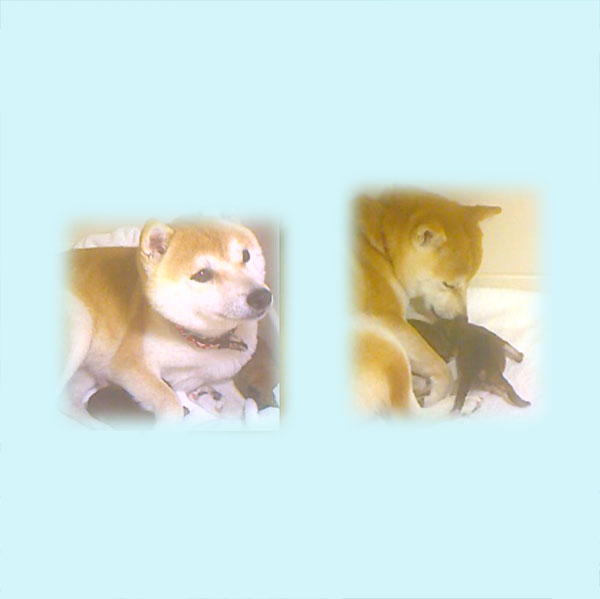 極小豆柴母犬 ちゃちゃちゃん