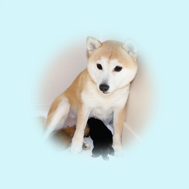 極小豆柴母犬 エビちゃん