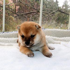小豆柴母犬 エミリちゃんの子