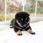 極小豆柴母犬 アンミツちゃんの子