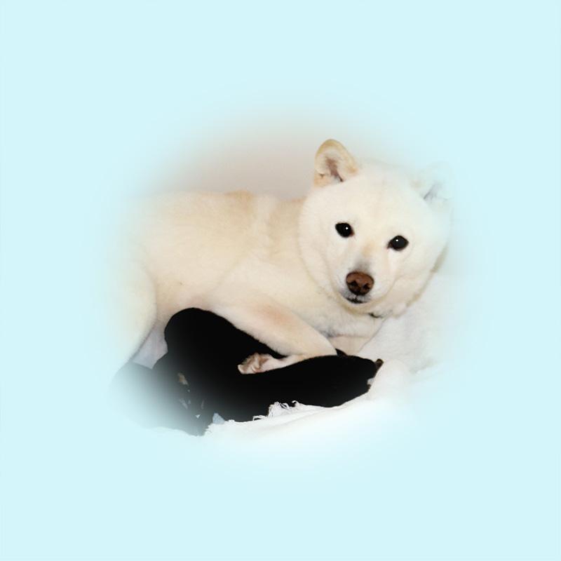 極小豆柴母犬 レモンちゃん