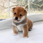 極小豆柴母犬 ジャスミンちゃんの子b