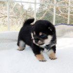 極小豆柴母犬 チエちゃんの子