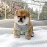 極小豆柴母犬 ヒイちゃんの子b