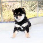 極小豆柴母犬 おもちちゃんの子c