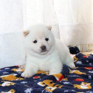 豆柴母犬 ソルトちゃんの子b