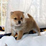 極小豆柴母犬 カンナちゃんの子