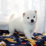 極小豆柴母犬 ミホちゃんaの子