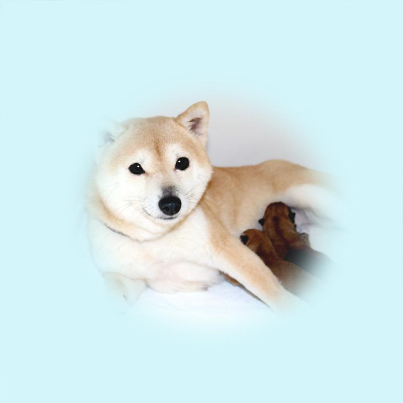 極小豆柴母犬 ジャスミンちゃん