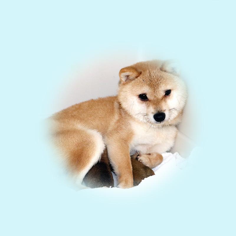 極小豆柴母犬 ヒナちゃん