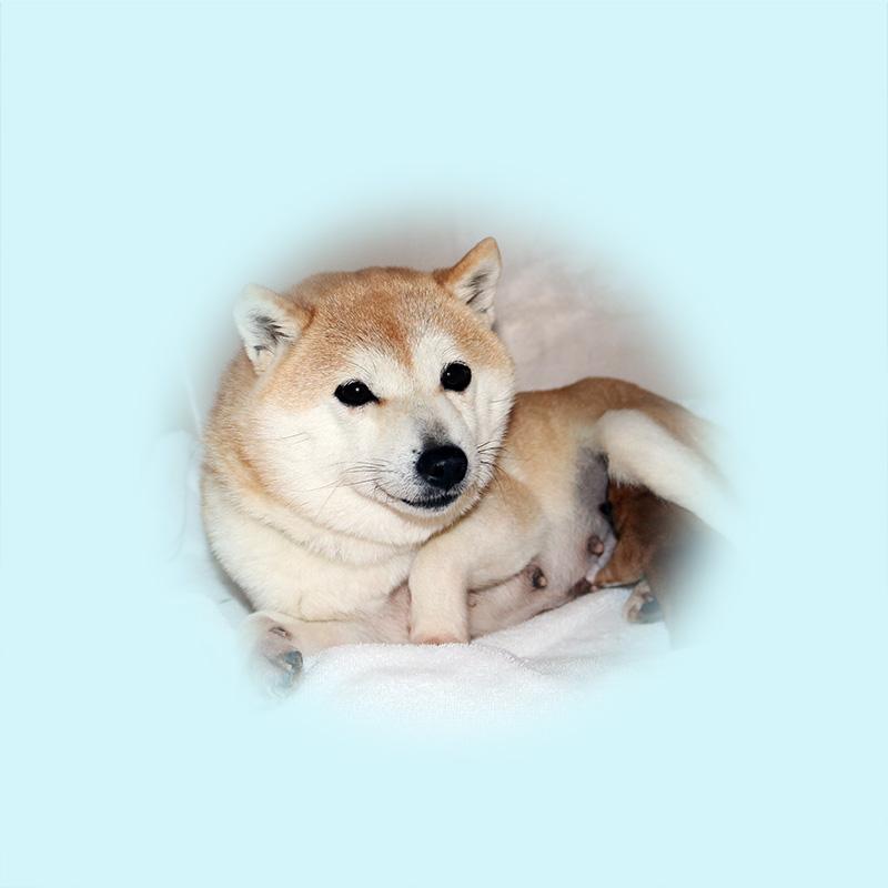 極小豆柴母犬 クコちゃん