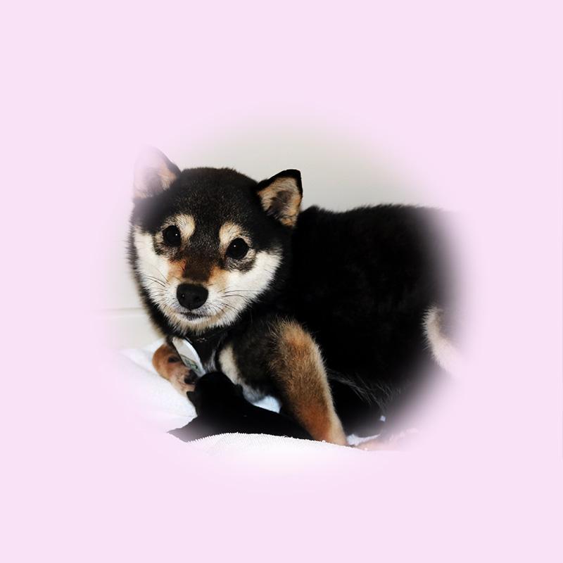 極小豆柴母犬 リーフちゃん