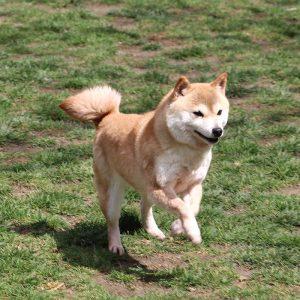 FP-053_極小豆柴犬