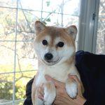 FP042 極小豆柴犬