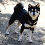 FP045_極小豆柴犬