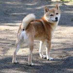FP048_極小豆柴犬