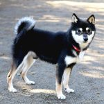 FP049_極小豆柴犬