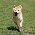 FP054_極小豆柴犬