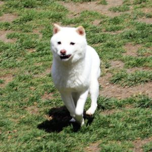 FP055_極小豆柴犬